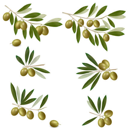 olive tree isolated: Green olive branch. Photo-realistic vector.