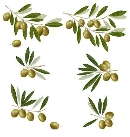 Rama de olivo verde. Vector fotorrealistas.