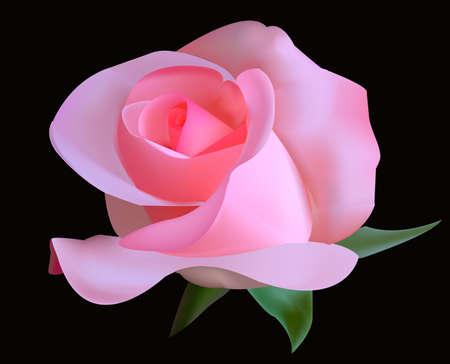 Beautiful tea rose on a black background. Illustration.