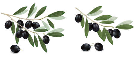 olive branch: Black olive branches. Photo-realistic . Illustration