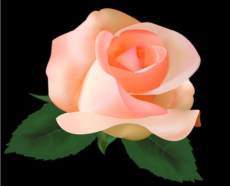 Beautiful tea rose on a black background. Illustration. Vector