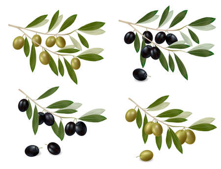 olive branch: illustration. Big set of green and black olives.  Illustration