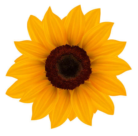 sunflower isolated:     Close up of beautiful yellow sunflower. Vector illustration.