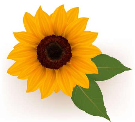 zonnebloem: Close-up van mooie gele zonnebloem met bladeren. Vector illustratie. Stock Illustratie
