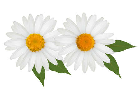 margerite: Beautiful daisy flowers with leaves. Vector. Illustration