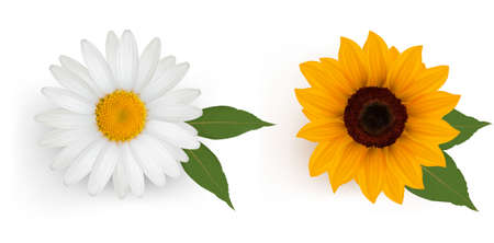 margerite: Beautiful daisy and sunflower with leaves. Vector.
