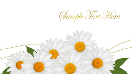 white daisy: Beautiful white daisy background. Vector. Illustration