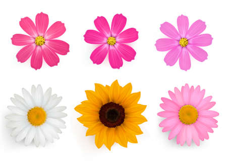 margerite: Collection of Beautiful Gerber Daisy flower with leaves. Vector.