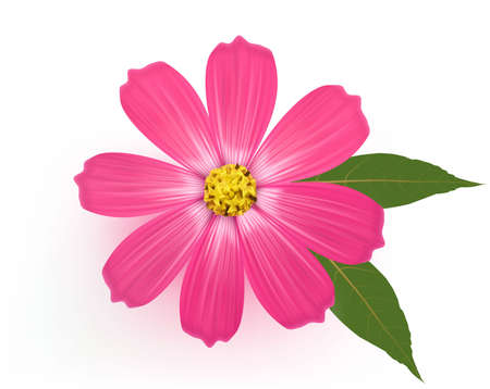 daisy pink: Beautiful Gerber Daisy flower with leaves. Vector.
