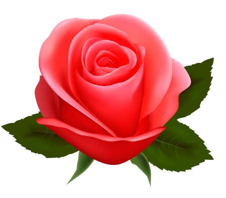 love rose: Hermosa rosa rosa sobre un fondo blanco. Ilustraci�n del vector.