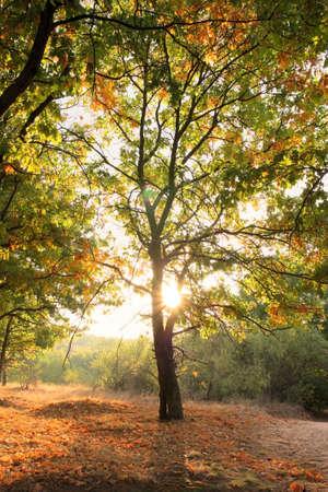 arboleda: Por la ma�ana en el bosquecillo de roble en oto�o  Foto de archivo