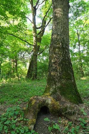 burrow: Nature. The tree under which is a animal burrow