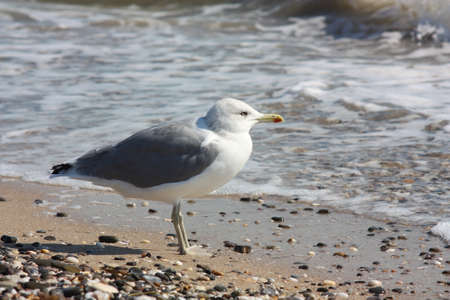 Seagull standing on the beach, close-up Stock Photo - 10997071