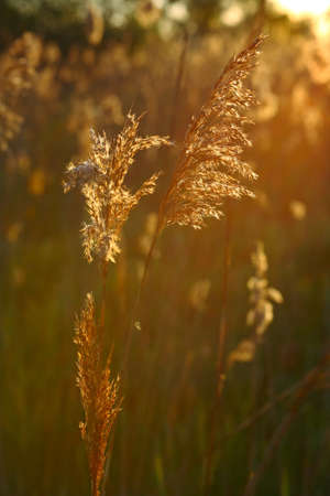 bulrush: Bulrush lit by the rays of the rising sun Stock Photo