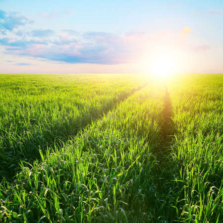 ray trace: Track in the field of barley at dawn in rays of a rising sun. Agriculture landscape
