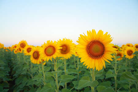 helianthus: Sunflowers on the field against the sky at dawn