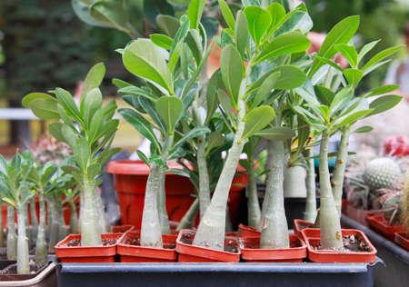 adenium: Adenium, decorative plant in pots outdoors