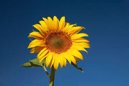 helianthus: Sunflower against the blue sky, close-up