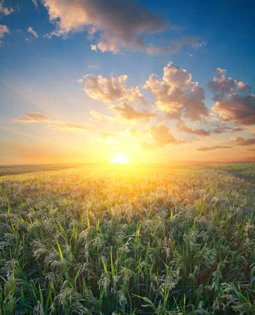 sorgo: Millet field (sorghum), green field, agriculture landscape, field of millet on a sunset sky background Foto de archivo