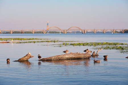 Wild ducks on the river against the bridge