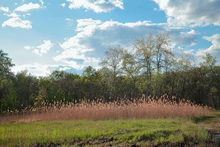 Spring natural landscape - grass, reeds, forest and blue sky with clouds