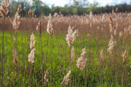 Dry rushes against the green grass close-up, vegetation 스톡 콘텐츠