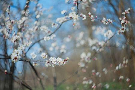 Ramo di fiori di albicocca, primo piano