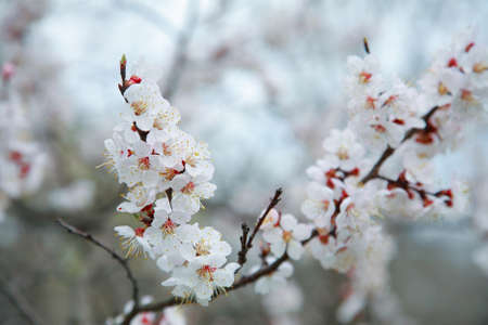 Branch of blossoms apricot-tree, close-up Imagens