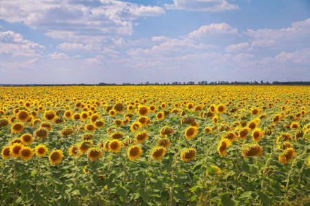 Field of sunflowers on a background of the blue sky