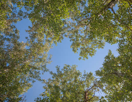 Silver poplar against the blue sky, view from the bottom Foto de archivo