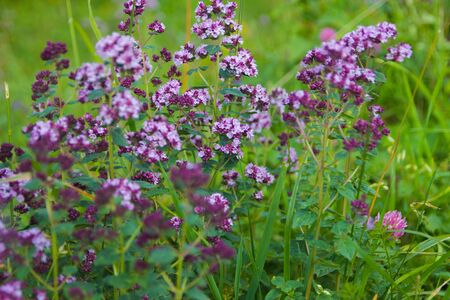 Wild origanum vulgare or common oregano, marjoram in the mountains