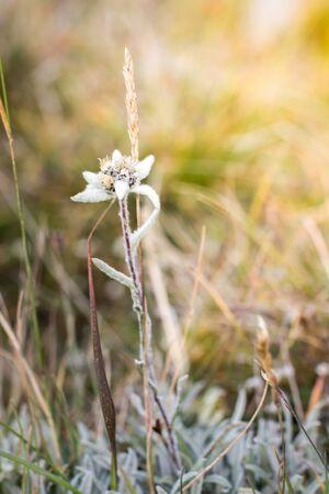 Blooming edelweiss flowers in a field, alpine meadows in summer