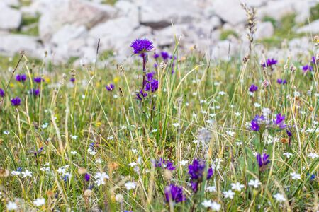Wild purple flowers in the alpine meadows in the mountains summertime