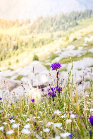 Wild purple flowers in the alpine meadows in the mountains summertime Zdjęcie Seryjne