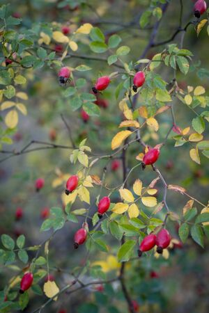 Wild bush of dog rose with red berries