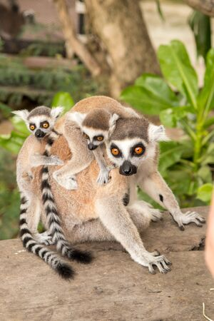 Lemur with babes on back at Khao Kheow Zoo, National Park of Thailand near Pattaya Stok Fotoğraf