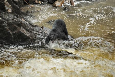 Alaska. Bear hunting for salmon Stock Photo