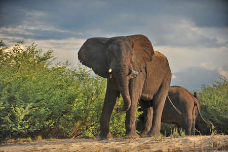 Elephants on the banks of the river zambezi.