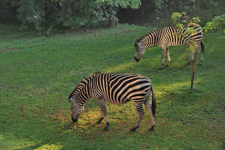 Africa. Zambia. The zebras graze on the field.