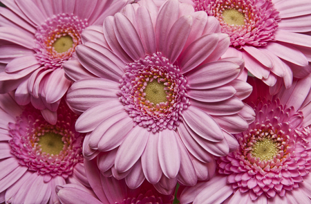 Background close up of multiple pink daisy gerbera flowers Stock Photo