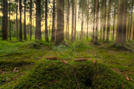Sunbeams Shining through Natural Forest of Beech Trees, moss is covering the Ground. Banco de Imagens