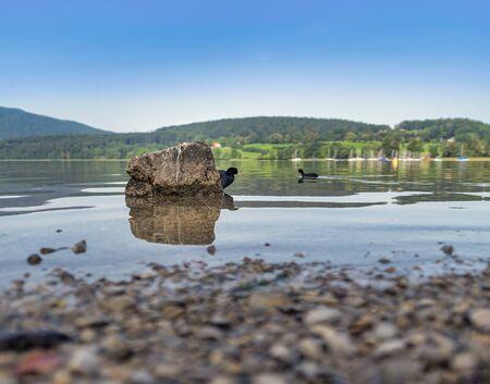 Hidden duck behind a stone at a lake.