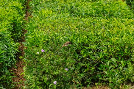Tea plantations in Mauritius zoomed in with a bird called Rotohrbuelbuel. Banque d'images