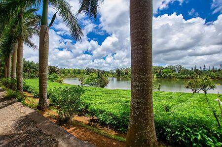 The view at the growing Bois Cheri tea plantation through some trees.