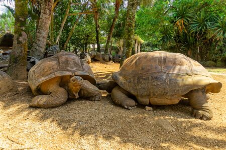 Two giant turtels are looking at each other at mauritius in a park. 写真素材