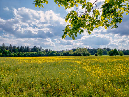 Wonderful field of yellow flowers at summertime at blue sky with clouds 写真素材