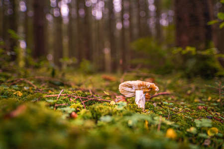 Mushroom on a clearing in an autumn mushroom forest in the rays of sunlight. Macro image of a mushroom in the forest with copy space