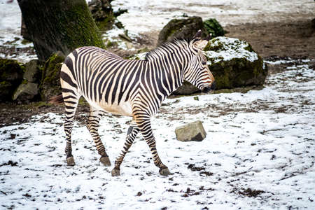 Zebra foal outdoors in the snow in zoo. 免版税图像