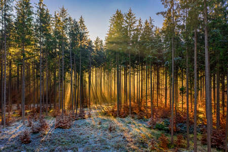Wonderful golden light at an early morning in the forest. Sunlight is shining through the treetops, warming the frozen, snow covered ground.