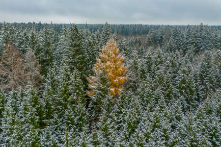 The stranger - snowy winter at the green treetops, but one broad-leaved tree is a orange colored one - constrast in a seasonal landscape